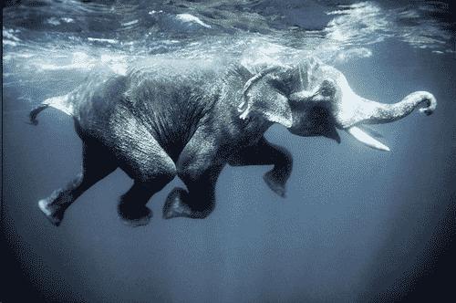 Elephant dans l'eau